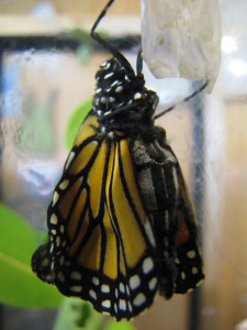 A_Monarch_Emerging_from_Cocoon_(6017672587)